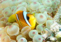 Anemonefish in bubble anemone